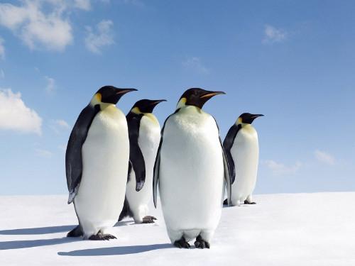 Cuatro pingüinos emperador